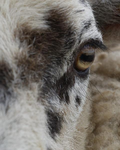 Mouton (œil)