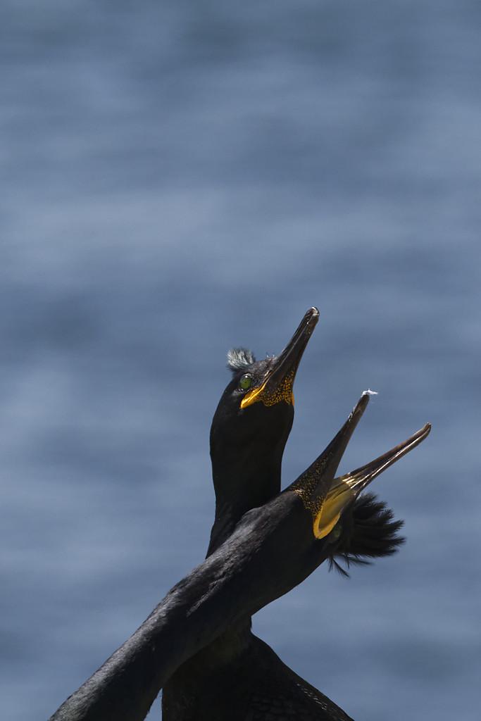 Cormoran huppé (Phalacrocorax aristotelis)