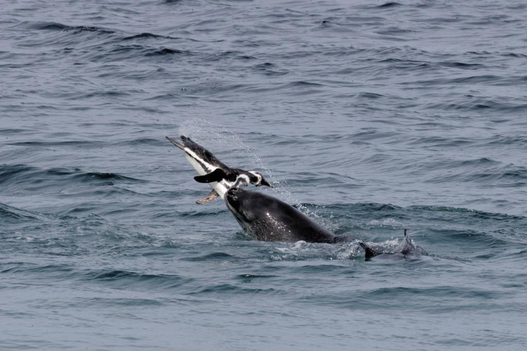 Léopard de mer et manchot de Magellan