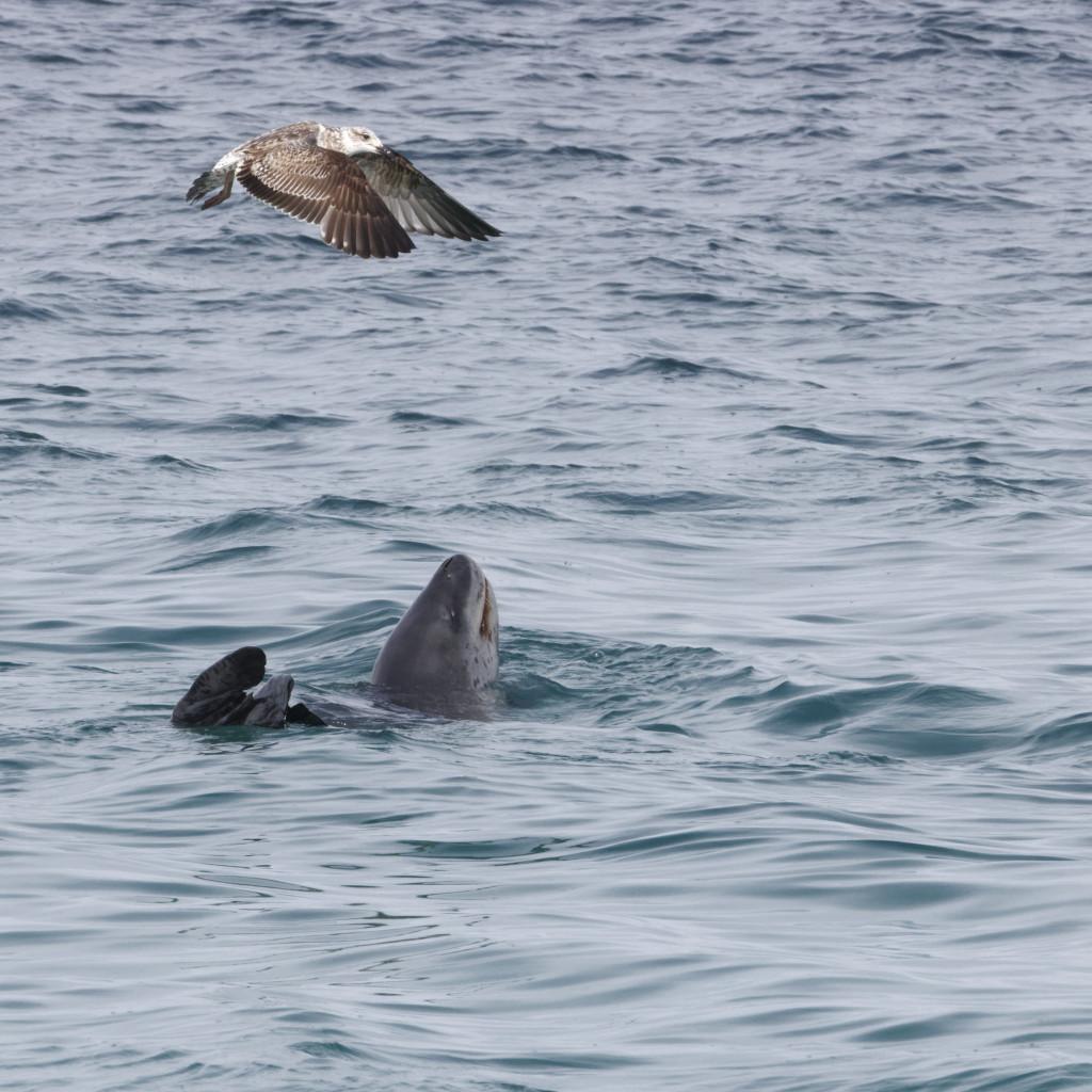 Léopard de mer et mouette