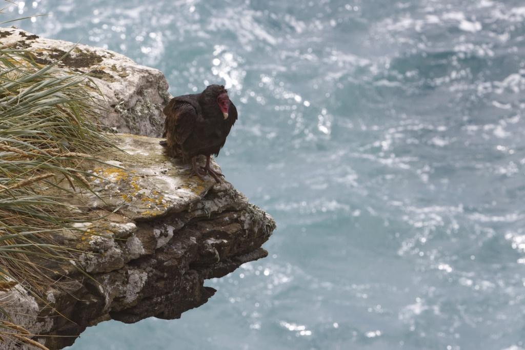 Urubu à tête rouge, sur la falaise