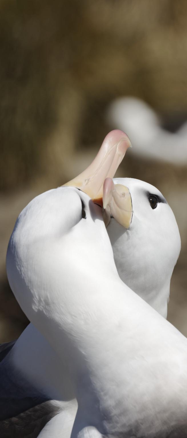 Le baiser de l'albatros