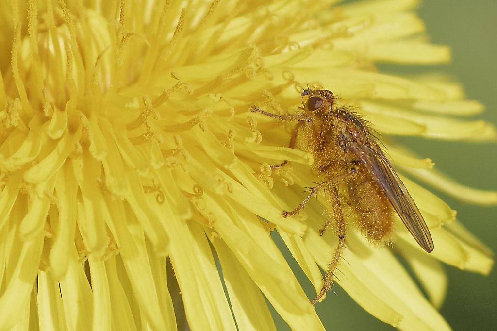 Écosse : mouche dans une fleur jaune