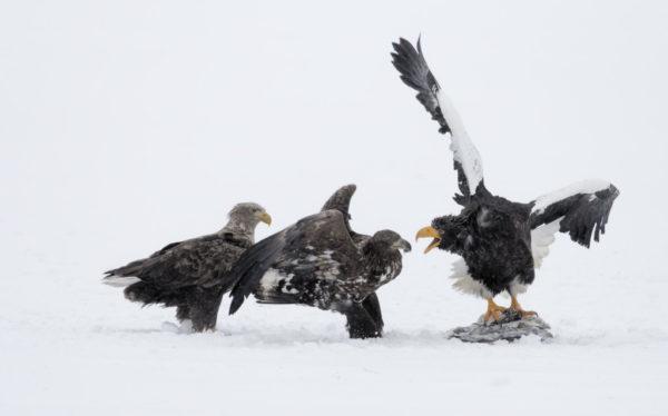Combat d'aigles