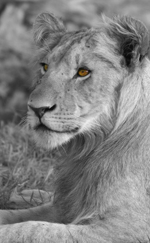 Lion en noir et blanc - Les yeux de Simba