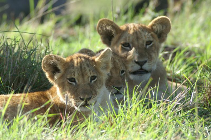 Nos amis les lionceaux! PICT2109